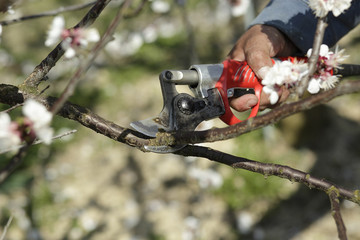 Pruning branches on a apricot tree