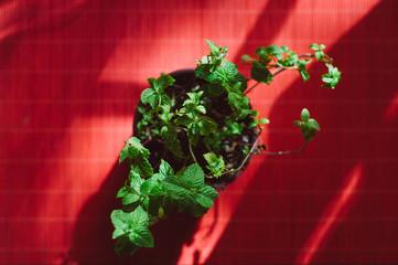 Peppermint plant pot