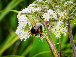 Close up of a White Tailed Bumblebee on the flowers of a  giant hogweed plant.