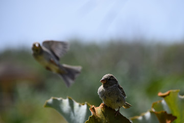 Sparrow photo bombing another perched on a green leaf