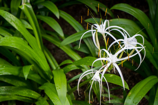 White spider lily flowers and space for text
