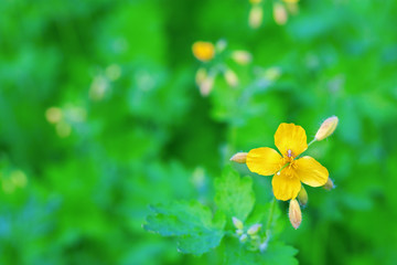 The bright yellow flower of celandine on blurred green background. Natural floral background. Greeting card with copy space with free place for text. Conventional flower design.