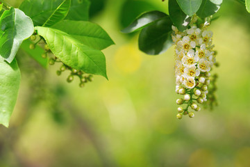 A branch of a blossoming bird cherry. Floral natural background. Free space for text. flowers cherry close up on blurred green background