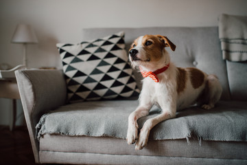 Adorable dog portrait with bow tie