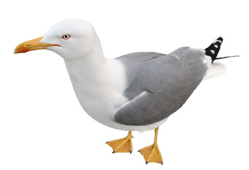 Standing seagull, top view, isolated on white.