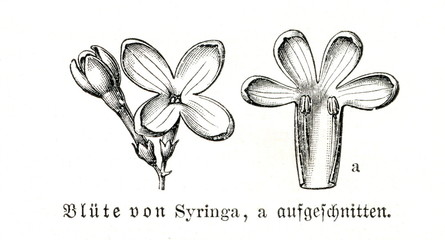 Flowers of Syringa (from Meyers Lexikon, 1896, 13/160)