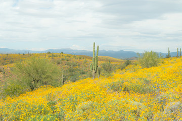 Saguaro Cactus with yellow  wild flowers.