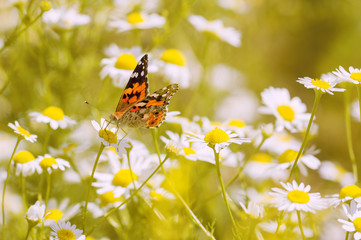 Bright butterfly on the flowers of chamomile. Beautiful summer photo. Selective focus.