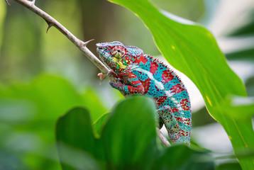Panther Chameleon, Masoala, Madagascar