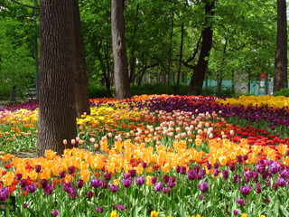 Field of tulips. Flowering of tulips in the parks of the city. Abundance of species of tulips.