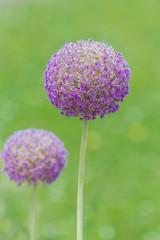 Purple flower, Allium bulb