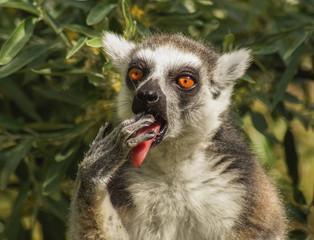 Affe mit Hand im Mund