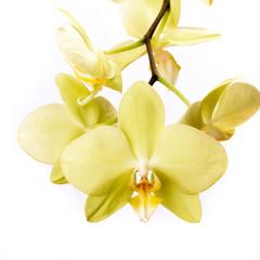 Phalaenopsis Orchidee isoliert vor weißem Hintergrund