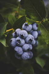 Close-up of organic blueberries on the bush