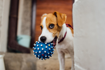 Jack russel puppy playing with ball