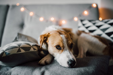 Adorable dog lying on the sofa bed indoors