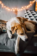 Adorable dog on the pillows indoor