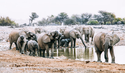 Herd of African Elephants at a water hole