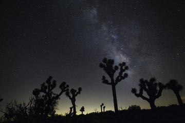 Joshua Trees silhouetted against a star night sky
