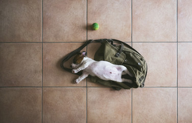 Jack Russell puppy sleeping on a bag