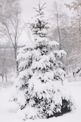 Snow Covered Fir