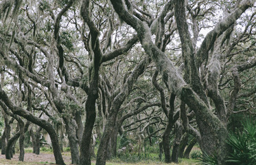 Oak Forest With Spanish Moss