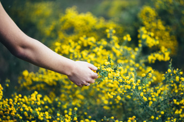 Girls hand reaching out to touch a yellow acacia plant