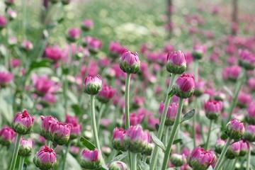flowers chrysanthemum in garden
