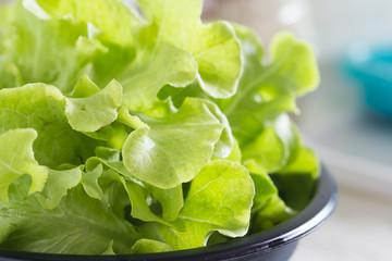 Green oak lettuce vegetable