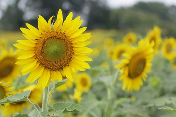 Sunflowers garden,field sunflower
