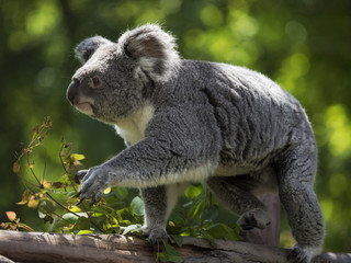 Koala moving through the trunk