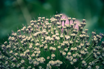Allium flower on a field