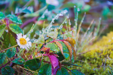 Dew Covered Grass and Daisy Flower