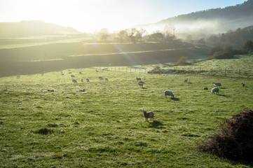 Sheeps in the morning sun, idyllic mountain landscape in Asturias in Spain