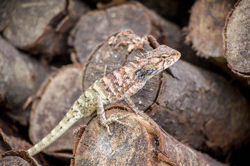 lizard on the wood timber