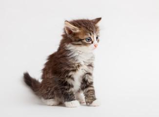 little fluffy brown kitten