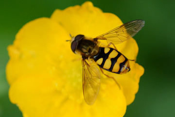 Hover-fly (syrphus ribesii) on a buttercup flower, seaton country park,  cornwall, uk