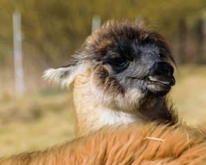 A young lama lives in Germany on a pasture in Deckenbach.
