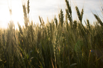 green wheat, spikelets and sunset on the background. Sun light on the wheat
