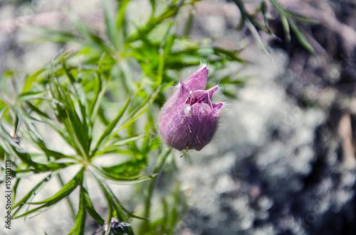 9f78540304fc Wild Spring Pasque Flower or Pulsatilla patens. Ranunculaceae Family ...