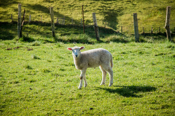 isolated lamb in  the morning sun