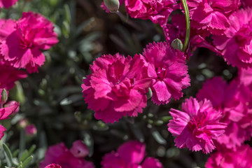 Pink full puffy flowers in close up macro image with green leaves blurry background