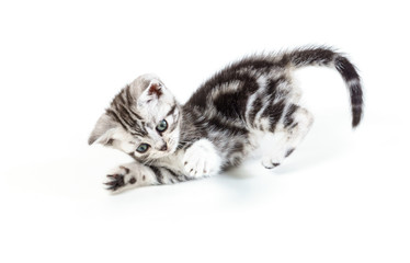 British short hair silver tabby kitten hunting isolated on white background