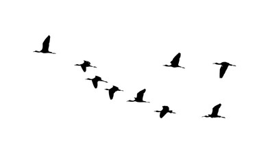 Glossy ibis (Plegadis falcinellus) wedge in flight. Vector silhouette a flock of birds