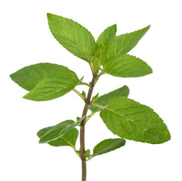 Fresh mint sprig
