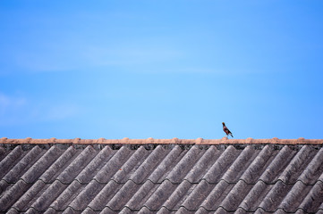 mynah bird perching on roof