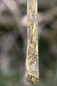 Gespinstmotten Traube