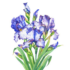The bouquet flowering blue and violet Iris with bud. Watercolor hand drawn painting illustration, isolated on white background.