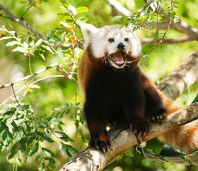 Red Panda Wild Animal Panting Stands Tree Limb