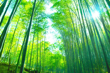 新緑の竹林と太陽
